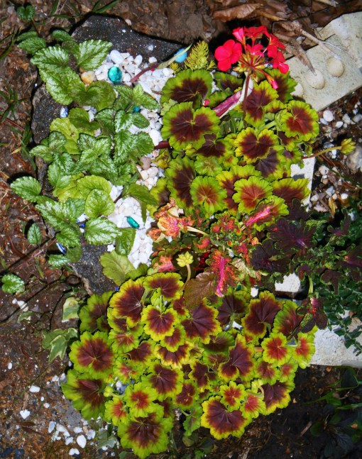 Geraniums, Coleus, Caladium, and Lamium fill this new hypertufa pot.  This photo was taken the same evening the pot was planted.  It will look much better and fuller in a few weeks.