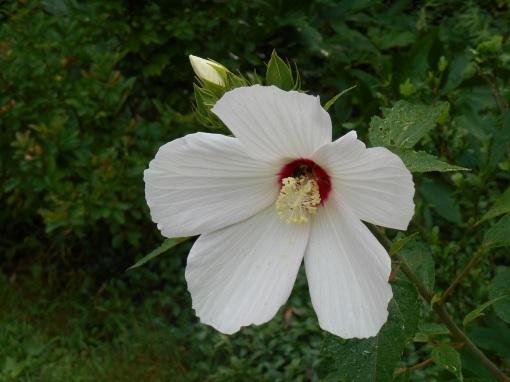 The same Hibiscus Moscheutos growing in our garden.