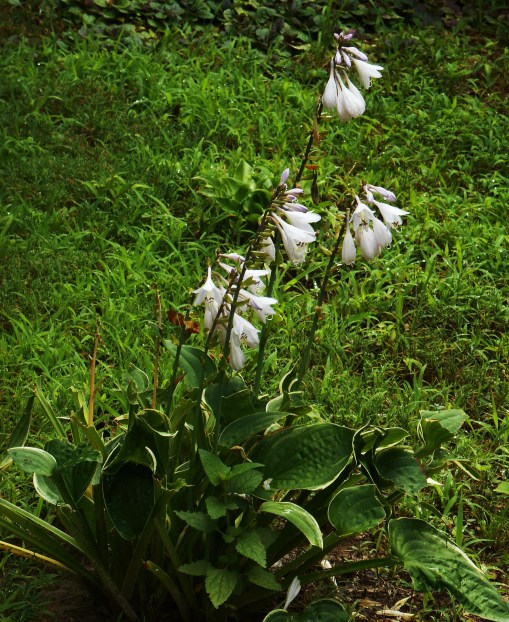 Our Hostas were badly grazed early in the season.  This one blooms bravely, despite its chewed and mangled foliage.  yes, I do know about all of the deer repellant sprays on the market, and I use them every few weeks...