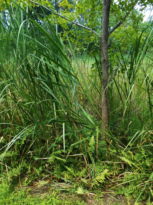 Ferns grow along the edge of the marsh where we found wild Hibiscus,