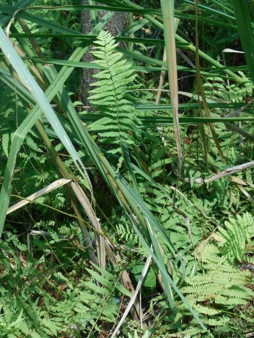 Native ferns found near the wild Hibiscus.
