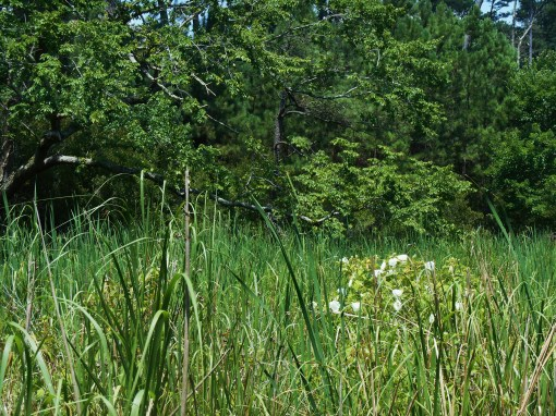 Native Swamp Mallow, Hibiscus Muscheotos,, on Jamestown Island.