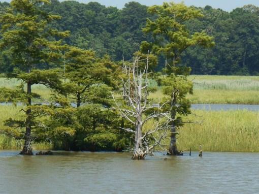 Cypress trees growing in Sandy Bay, beside Jamestown Island.