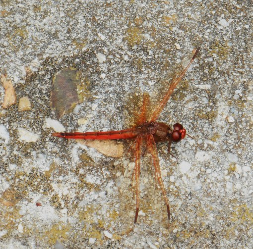 This little dragonfly waited patiently on the curb at one of our stops.  I wondered why he was still there as we left.  Do you see his torn wing?  Such a beautiful creature, and larger than a hummingbird.