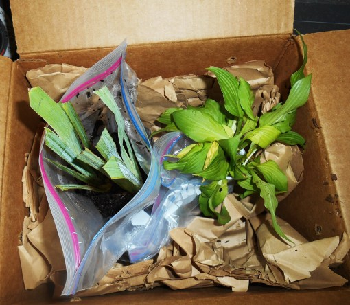 The plants as they appeared when I opened the box this morning.  They look healthy and ready to grow!