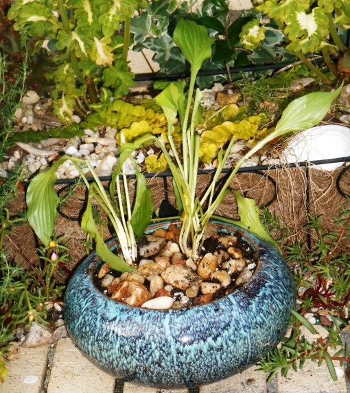 """Hosta """"Lemon Lime"""" divisions, sent by Michael Laico, newly potted up and ready to grow."""
