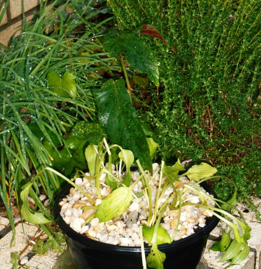 These divisions are potted up with a rooted Cane Begonia cutting, which will have white flowers.