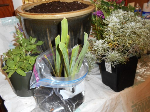 Iris with the other perennials Joel Patton helped me select for this container.