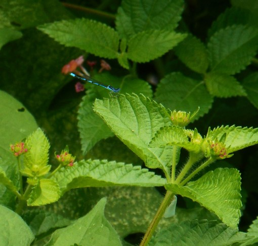 Blue dragonfly on Lantana