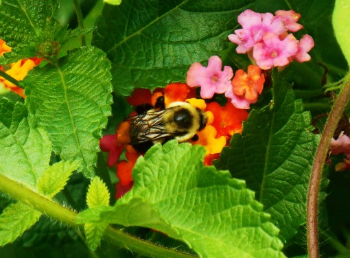 Bumblebee on Lantana