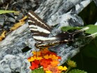 July 20, 2014 butterflies 009