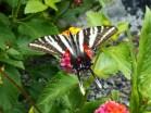 Eastern Zebra Swallowtail butterfly