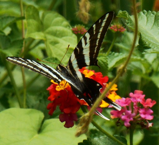 July 20, 2014 butterflies 021