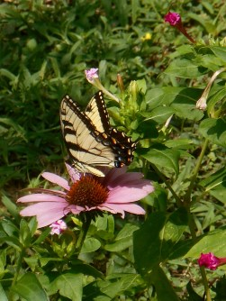 July 20, 2014 butterflies 037