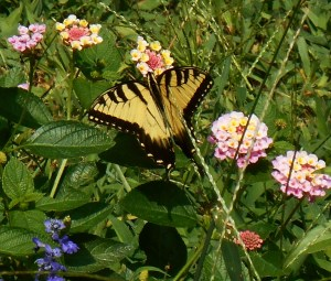 Male Eastern Tiger Swallowtail butterfly on Lantana