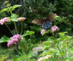 July 20, 2014 butterflies 049