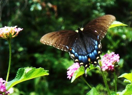 July 20, 2014 butterflies 049