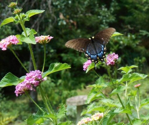 Female Tiger Swallowtail on Lantana.  Lantana is the most visited plant in our garden by both butterflies and hummingbirds.