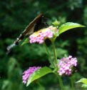 July 20, 2014 butterflies 050