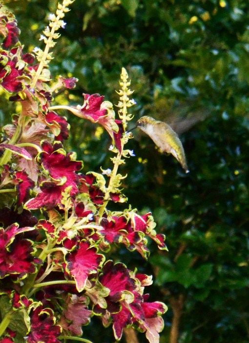 Older varieties of Coleus prefer partial shade, but these newer hybrids can take several hours of full sun each day.