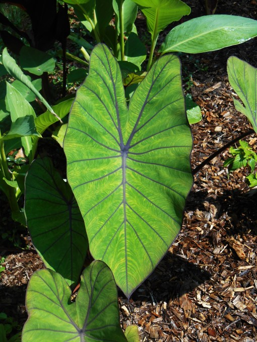 "Colocasia, ""Blue Hawaii"""