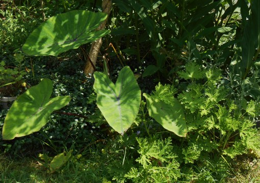 Colocasia enjoys sun to part shade.  Here it enjoys late afternoon shade from nearby shrubs.