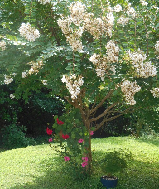 Crepe Myrtle enjoys full sun,, while offering shade to an Ivy Geranium basket and an Asparagus fern.