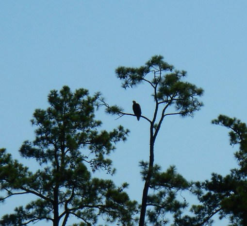 Bald Eagle, resting along the river's bank this morning.