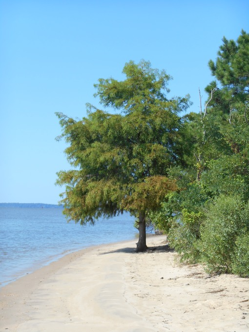 A Bald Cypress grows here along the beach.