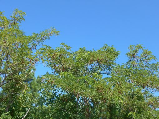 Native Black Locust trees, full of seedpods, grow along the beach.