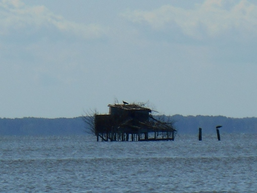 Osprey eagles have claimed this hunting blind in the middle of the James River.