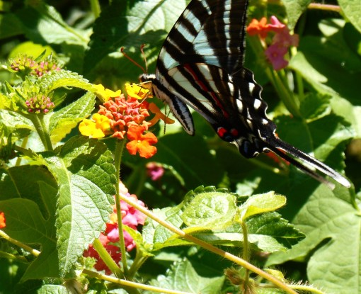 "A Zebra Swallowtail enjoying Lantana, right outside our front door.  This Lantana is from the ""Carolina"" series, and tops 6' tall by September."