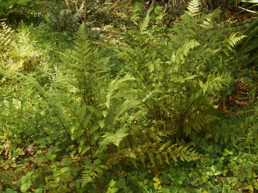 "Many ""shade loving"" ferns can tolerate more sun than you might expect, when hydrated.  These grow in a bank in partial shade."