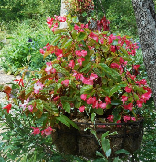 This basket of mixed Begonias and fern hangs in a Dogwood in partial shade. These Begonias are fairly sun tolerant, but we've still had some burned leaves during these last few very hot weeks. This basket needs daily watering when there is no rain.