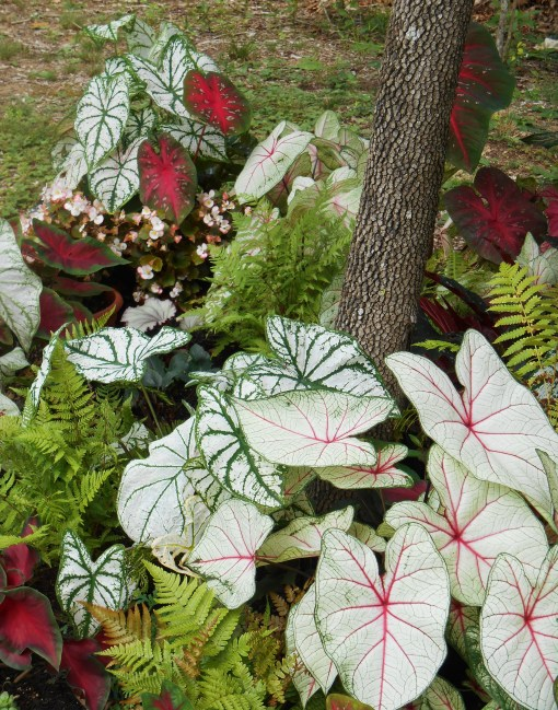 Can you spot the little Rex Begonia in the midst of the Caladiums and ferns?
