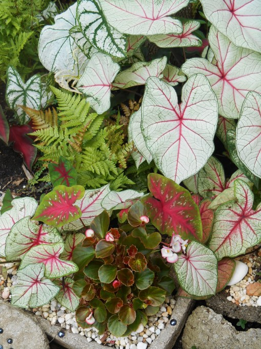 Caladiums, ferns and Begonias remain my favorite plants for shade.