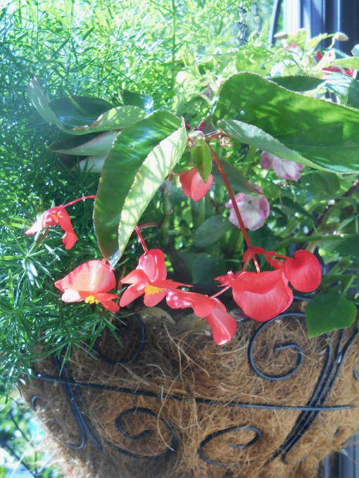 A basket of Asparagus fern and Begonia hangs near the house on our back deck.  Normally shaded, here it basks in late afternoon sunshine.