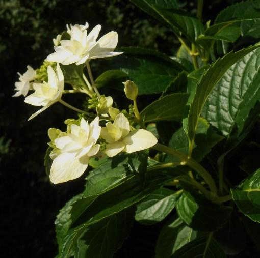 Hydrangea, Macrophylla