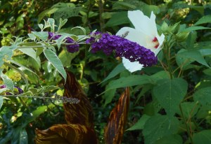 Butterfly bush with native Hibiscus
