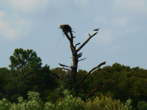 An Osprey Eagle greeting the morning, after the storm had passed.