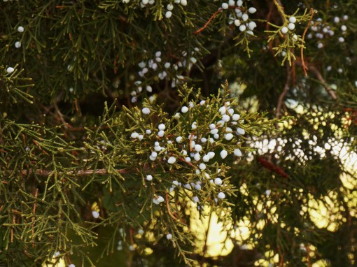 Cedar with berries