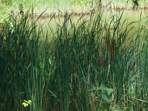 Cattails grow along the edges of the marsh.  These are a wonderful source of food which the Colonists probably didn't recognize or know how to prepare.