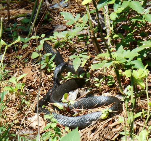 And this snake was sunning himself along the road on the island.