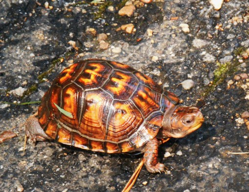 This beautiful Eastern Box Turtle was bravng the quiet morning on Jamestown Island.