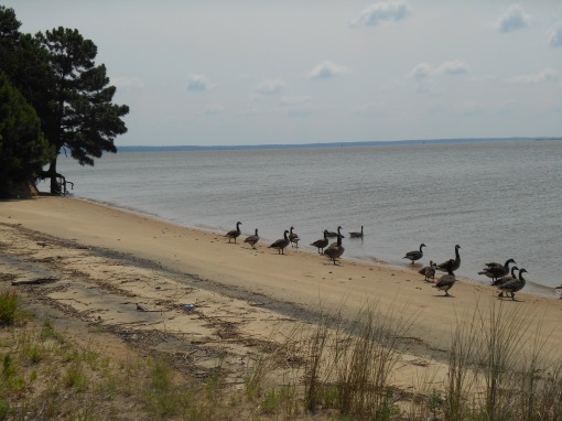The Canada geese had come together in large flocks along the banks of the river to ride out the storm.