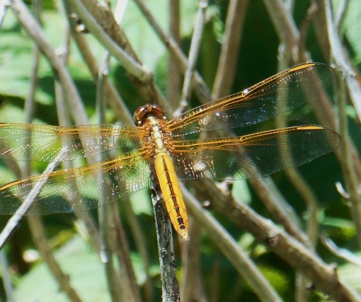 This golden dragonfly lives in our garden.