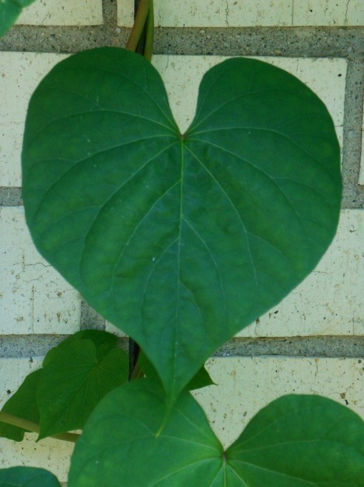 The leaf of a Moonflower vine