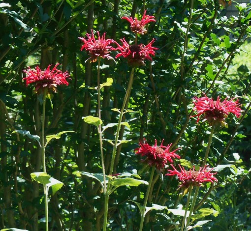 Bee Balm, Monarda, blooming in our garden today.