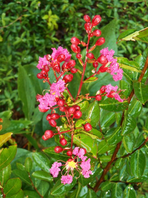 "The first every buds opening on a ""volunteer"" Crepe Myrtle which has finally grown large enough to bloom this season."