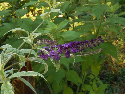 "Buddleia, ""Harlequin"" has come into bloom."